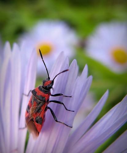 flowers red summer black flower macro nature yellow canon bug suomi finland insect maria images lilac sue kesä kerimäki luonto laakso kukka hyönteinen lude corizushyoscyami insectphotography canonpowershota710is sue323
