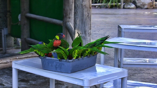 Dinner Time for Lorikeets