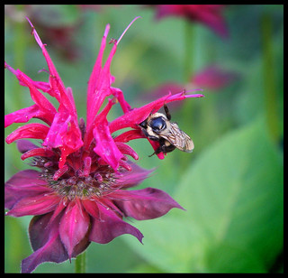 Bee Balm in Bloom ::  Monarda