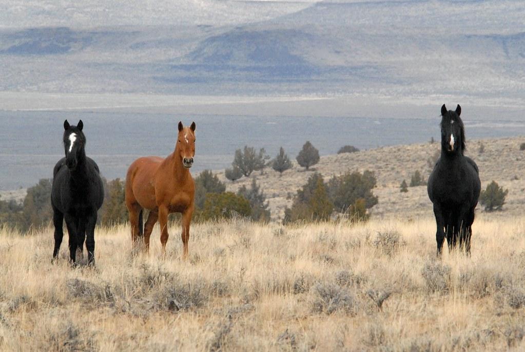 Feral Horses South Steens Hma Steens Mountain Oregon