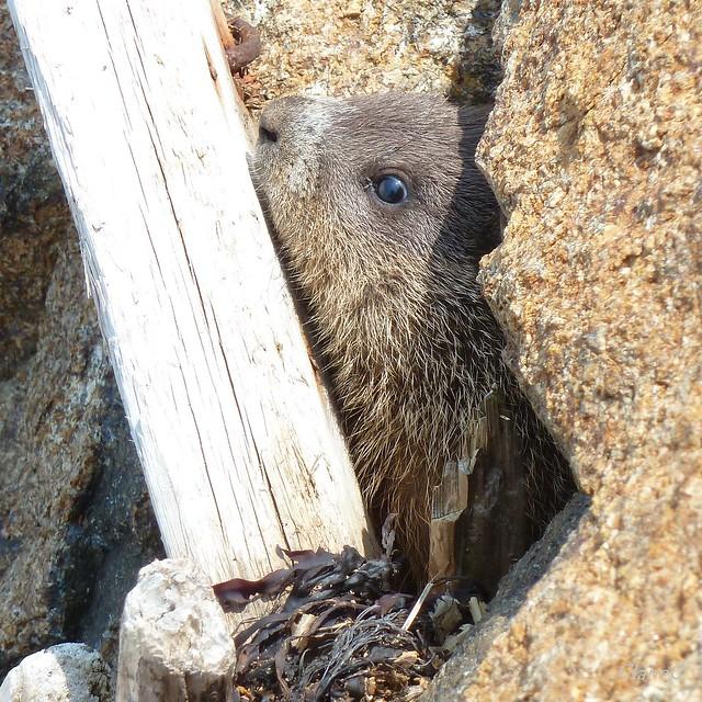 Baby woodchuck - photo#26