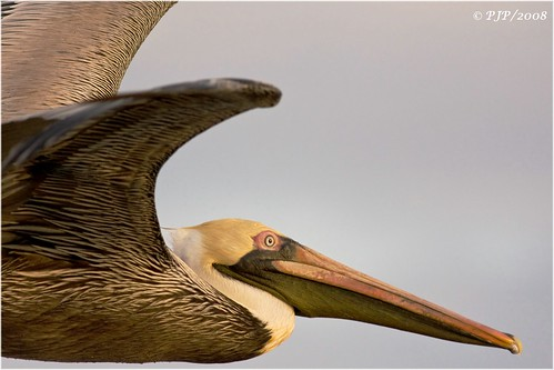 sunset nature beauty birding brownpelican goodlight specanimal avianexcellence canon40d pelicanusoccidentalus canonef400f56l