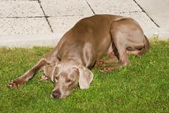puppy(0.0), dog breed(1.0), animal(1.0), dog(1.0), mammal(1.0), weimaraner(1.0), vizsla(1.0),