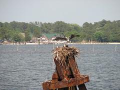 3621 Osprey Landing on Nest