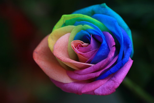 elements rainbow roses are incredible natural multi