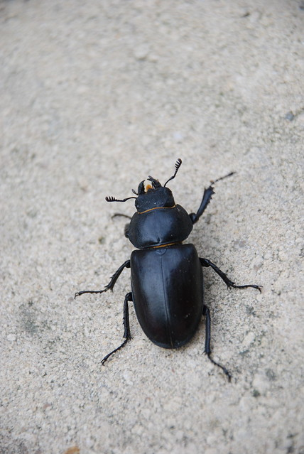 Big black beetle | Explore Jus101's photos on Flickr ...