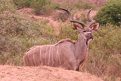barbary sheep(0.0), waterbuck(0.0), hartebeest(0.0), common eland(0.0), white-tailed deer(0.0), impala(0.0), animal(1.0), antelope(1.0), mammal(1.0), horn(1.0), fauna(1.0), kudu(1.0), savanna(1.0), safari(1.0), wildlife(1.0),