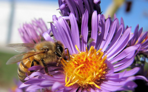 honeybee on aster