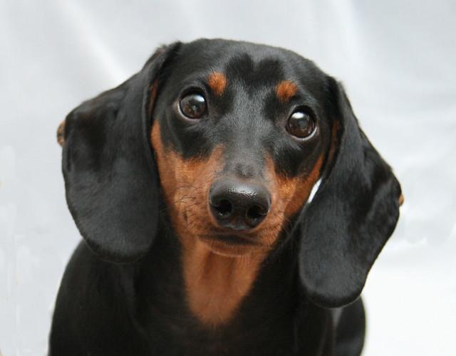 Black Weenie And Brown Weenie Dog Puppies