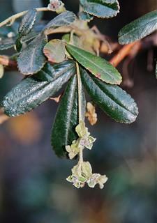 Polylepis incana (Rosaceae)