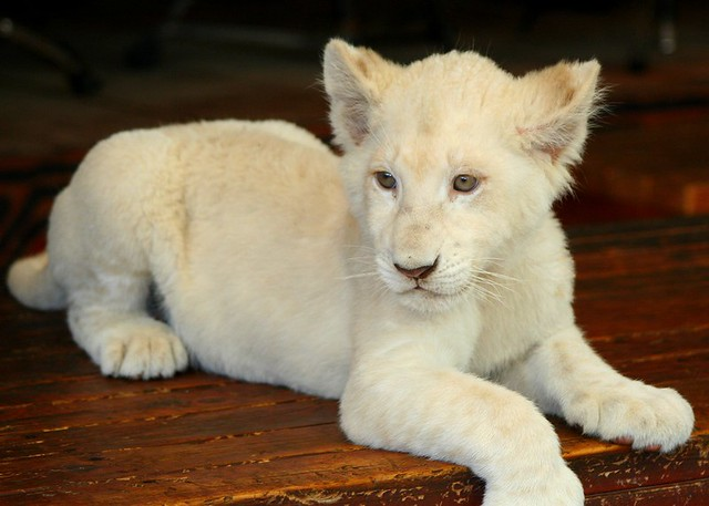 WHITE LION cub { Explored } | Flickr - Photo Sharing!