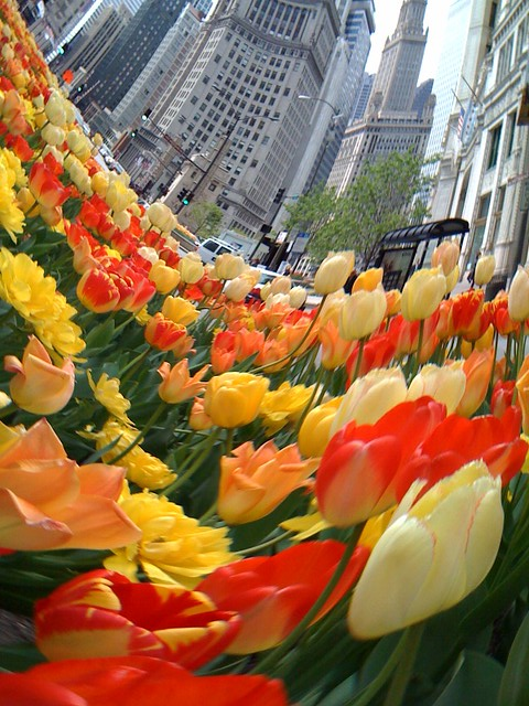 The tulips make everything into a cartoon world (5)