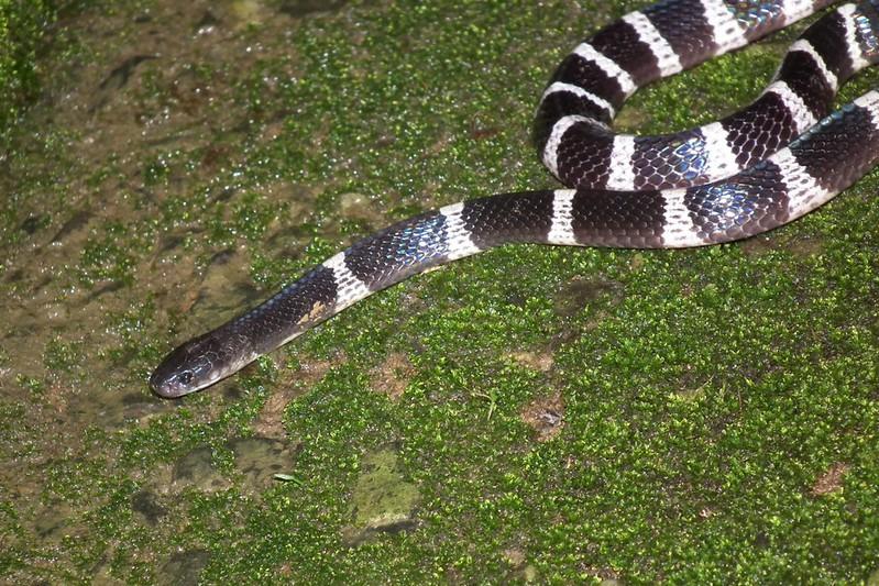 雨傘節,雖為毒蛇,但是卻是個害羞又膽小的傢伙!