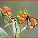 Butterfly On Lantana Bud