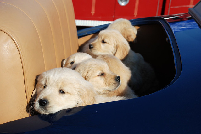 Sweet Funny Puppies in a Car Taking Their Master for a Ride Cuddly Cutelings