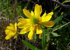 Ranunculus macranthus