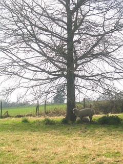 Sheep by tree