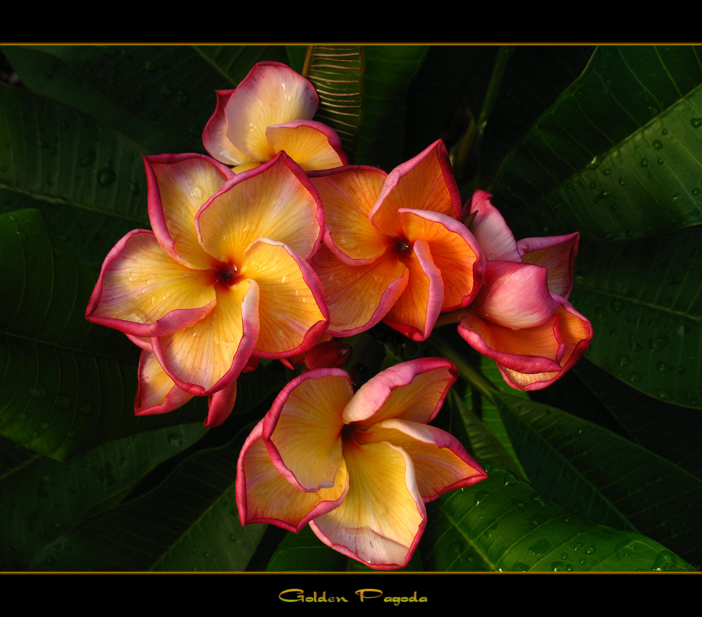 One of my favorite plumeria s the variety golden pagoda