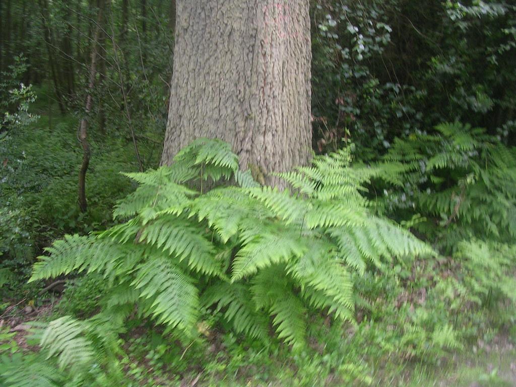 Tree with bracken Mortimer to Aldermaston