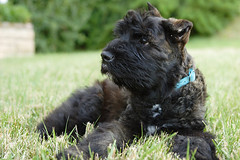 dog breed, animal, dog, pet, glen of imaal terrier, giant schnauzer, standard schnauzer, vulnerable native breeds, cesky terrier, bouvier des flandres, miniature schnauzer, affenpinscher, carnivoran, terrier,