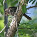 Small photo of Redwing blackbird (female) Agelaius phoeniceus