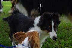 border collie, dog breed, animal, dog, pet, mammal, rough collie,
