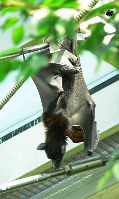 Indonéziai rövidorrú gyümölcsdenevér - Indonesian short-nosed fruit bat