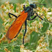 Tarantula Hawks - Photo (c) Jerry Oldenettel, some rights reserved (CC BY-NC-SA)