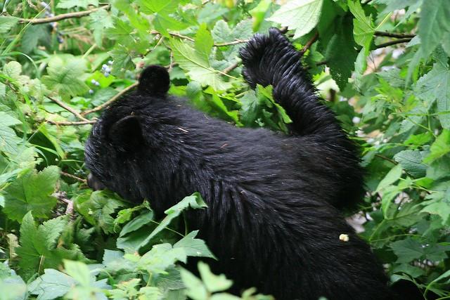 Black bear eating berries flickr photo sharing