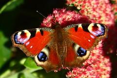 Kelvingrove Park Butterfly 2