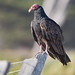 Turkey Vulture (Cathartes aura) Morro Bay, CA