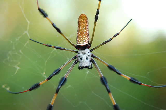 Golden Orb Weaver Spider Flickr Photo Sharing