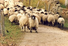 animal, sheeps, sheep, mammal, herd, grazing, fauna, herding, pasture,