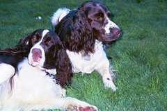 boykin spaniel(0.0), king charles spaniel(0.0), braque d'auvergne(0.0), picardy spaniel(0.0), blue picardy spaniel(0.0), dog breed(1.0), animal(1.0), dog(1.0), welsh springer spaniel(1.0), pet(1.0), stabyhoun(1.0), mammal(1.0), small mã¼nsterlã¤nder(1.0), field spaniel(1.0), drentse patrijshond(1.0), brittany(1.0), setter(1.0), russian spaniel(1.0), english cocker spaniel(1.0), spaniel(1.0), german spaniel(1.0), french spaniel(1.0), english springer spaniel(1.0),