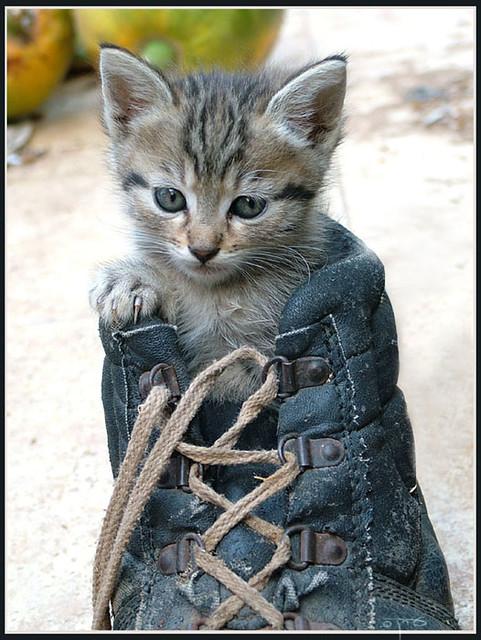 Kitten in a Shoe -   | Flickr - Photo Sharing!