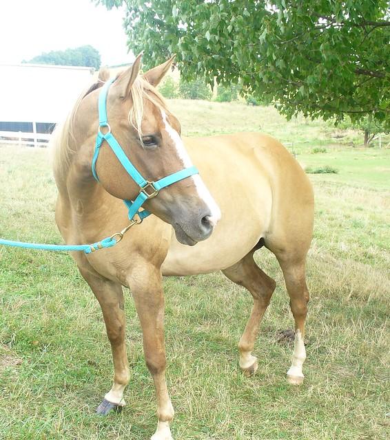 Samantha - Red Dun Quarter Horse | Flickr - Photo Sharing!
