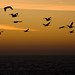 Brown Pelicans (Pelecanus occidentalis) in silhouette.