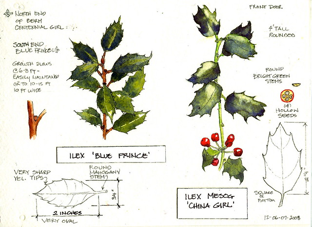 Comparative holly at Longears