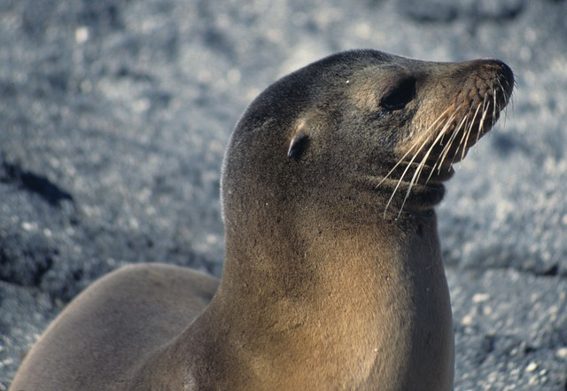 Galapagos sea lion: portrait with a double chin
