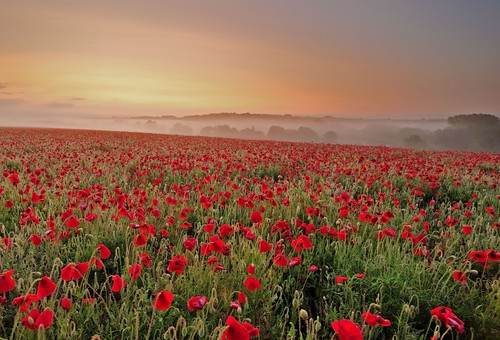 Poppies. Misty sunrise.