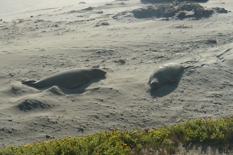 Leones Marinos en la playa, visitante común del parque. Pfeiffer State Park, fusión de tierra y agua - 2527838335 7bf077a708 o - Pfeiffer State Park, fusión de tierra y agua
