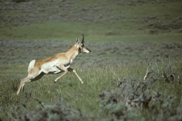 I00362 Pronghorn Antelope Running | Flickr - Photo Sharing!