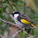 White-cheeked Honeyeater - Photo (c) Marj Kibby, some rights reserved (CC BY-NC)