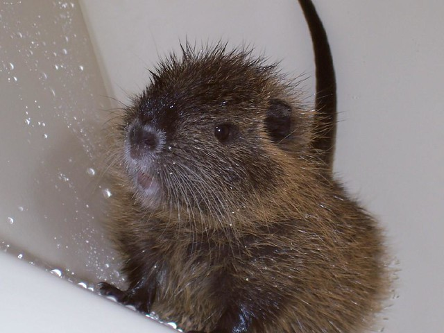 how to get rid of nutria