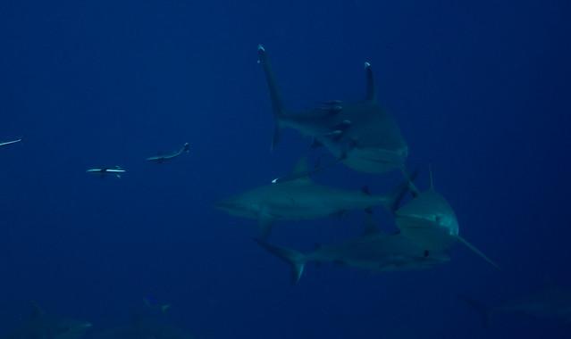 Masse Grey Reef Shark som gjør seg klar til mating på Osprey Reef