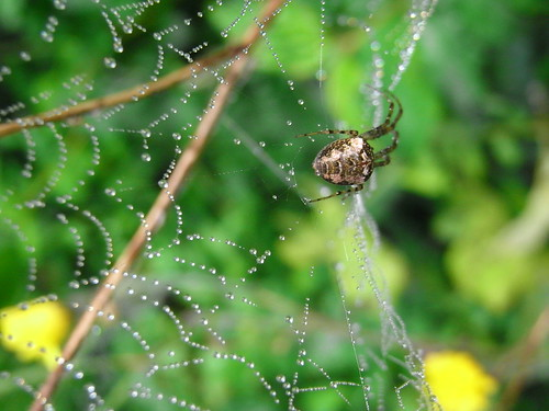 spider on a dew-drop web