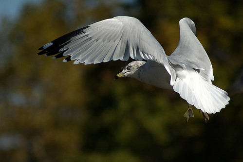bird nature animal nikon d70 wildlife gull maryland 70300mmf456g havredegrace harfordcounty epiceditsselection