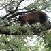 Bear climbing a tree by jani9000
