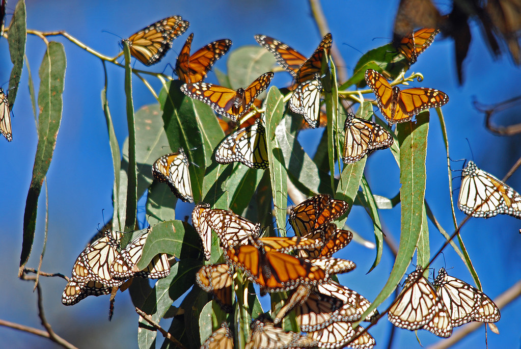 Weather and Milkweed Shortage Lead to Monarch Butterfly Declines