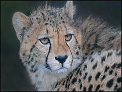 young Cheetah.